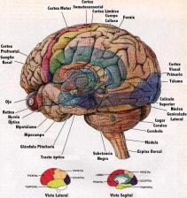 Cerebro humano 3