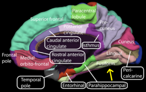 Medial_surface_of_cerebral_cortex_-_fusiform_gyrus