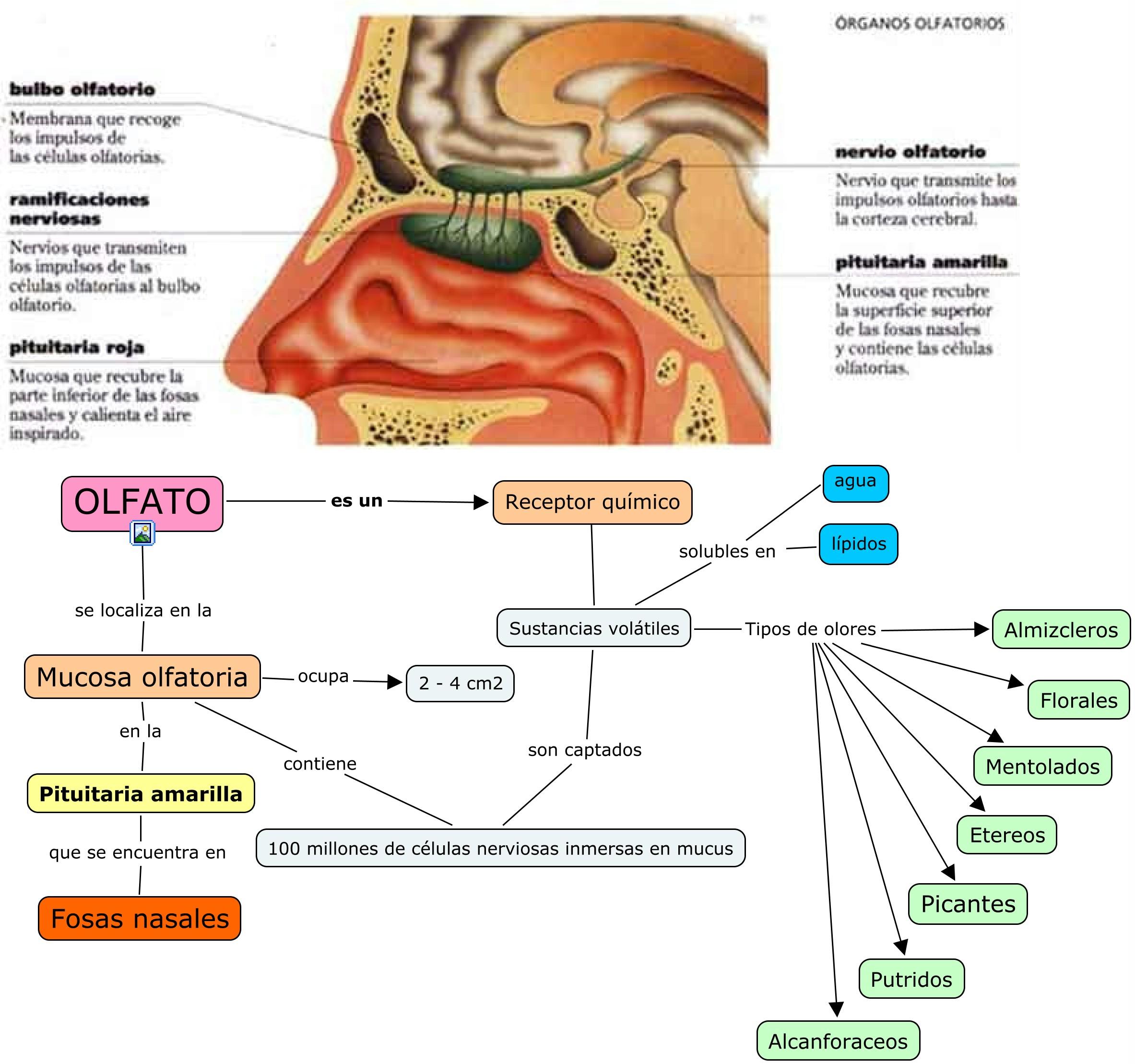 Aromaterapia Una Manera Sutil De Equilibrar Los Hemisferios