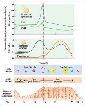 ciclomenstrual